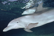 Atlantic Bottlenose Dolphin Prints - Bottlenose Dolphin Underwater Pair Print by Flip Nicklin