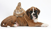 Boxer Posters - Boxer Puppy And Netherland-cross Rabbit Poster by Mark Taylor