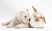 Boxer Posters - Boxer Puppy And Young Fluffy Rabbit Poster by Mark Taylor