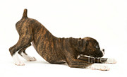 Brindle Photos - Brindle Boxer Pup by Jane Burton