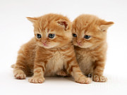Tabby Art - British Shorthair Red Tabby Kittens by Jane Burton