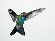 Feather Art - Broadbill Hummingbird in Flight by Gregory Scott