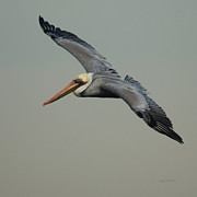 Shore Birds Posters - Brown Pelican Poster by Ernie Echols