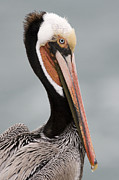 Mar1013 Framed Prints - Brown Pelican In Breeding Plumage La Framed Print by Sebastian Kennerknecht
