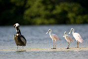 Mangrove Trees Photos - Brown Pelican Pelecanus Occidentalis by Tim Laman