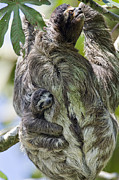 Sloth Metal Prints - Brown-throated Three-toed Sloth Metal Print by Suzi Eszterhas