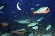 Swimming Fish Photos - Bull Shark Surrounded By Reef Fish by Terry Moore