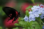 Butterfly Beauty Print by Valia Bradshaw