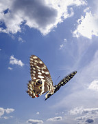 Flight Prints - Butterfly Print by Tony Cordoza
