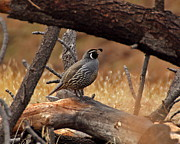 Topknot Framed Prints - California Quail Framed Print by Stephen Dennstedt