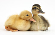 Baby Bird Photos - Call Duckling And Mallard Duckling by Mark Taylor