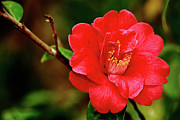 Camellia Japonica Posters - Camellia japonica Poster by Gaspar Avila
