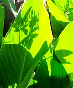 Canna Posters - Canna Leaves Poster by France Laliberte