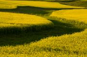 Field Of Crops Prints - Canola Field, Darlington, Prince Edward Print by John Sylvester