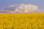Canola Field Prints - Canola Field, Somerset, Manitoba Print by Mike Grandmailson