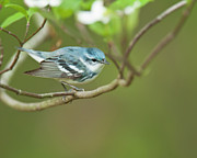 Wood Warbler Posters - Cerulean Warbler Poster by James Mundy