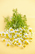 White Bloom Posters - Chamomile flowers Poster by Elena Elisseeva
