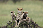 Acinonyx Posters - Cheetah Acinonyx Jubatus Mother Poster by Suzi Eszterhas