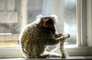 Chewy The Marmoset Print by Barry R Jones Jr