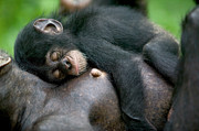 Sleeping Baby Animals Framed Prints - Chimpanzee Pan Troglodytes Adult Female Framed Print by Cyril Ruoso