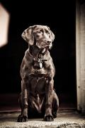 Labrador Retrievers Prints - Chocolate Labrador Retriever Portrait Print by David DuChemin