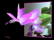 Oob Photos - Christmas Cactus by EricaMaxine  Price