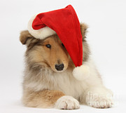 Father Christmas Prints - Christmas Collie Print by Mark Taylor