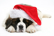 Sleeping Dog Posters - Christmas Puppy Poster by Mark Taylor