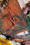 Commensal Shrimp Posters - Cleaner Shrimp On A Grouper Poster by Georgette Douwma