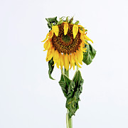 Lives Prints - Close up of sunflower. Print by Bernard Jaubert