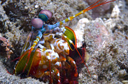 Tentacle Close-up Acrylic Prints - Close-up View Of A Mantis Shrimp, Papua Acrylic Print by Steve Jones