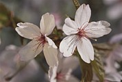 Spring Scenes Metal Prints - Close View Of Cherry Blossoms Metal Print by Darlyne A. Murawski