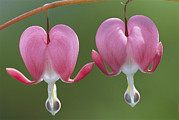 Dicentra Spectabilis Prints - Close View Of Dutchmans Breeches, Or Print by Darlyne A. Murawski