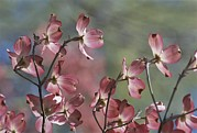 Spring Scenes Art - Close View Of Pink Dogwood Blossoms by Darlyne A. Murawski