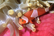 Clownfish Prints - Clownfish In Sea Anemone, Indonesia Print by Beverly Factor