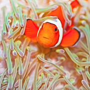 Red Sea Anemonefish Posters - Clownfish Poster by MotHaiBaPhoto Prints