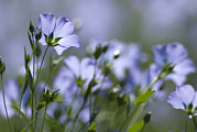 Lint Prints - Common Flax (linum Usitatissimum) Print by Adrian Bicker