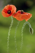 Hairy Stem Prints - Common Poppy (papaver Rhoeas) Print by Bob Gibbons