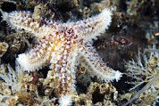 Rubens Metal Prints - Common Starfish Metal Print by Alexander Semenov