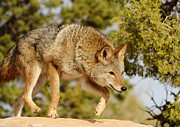 Coyote Hunting Print by Dennis Hammer