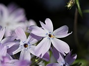 Phlox Framed Prints - Creeping Phlox Framed Print by J McCombie