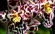 Close Up Framed Prints - CRibet Exotic Orchids Framed Print by C Ribet