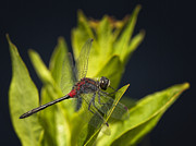 Dragonfly Prints - Crimson-ringed Whiteface Print by Jeremy Martin