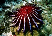 Destructive Prints - Crown-of-thorns Starfish Print by Georgette Douwma