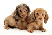 Animal Portraits Art - Dachshund Pups by Jane Burton
