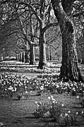 Yellow Line Framed Prints - Daffodils in St. Jamess Park Framed Print by Elena Elisseeva