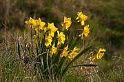 Daffodils Print by Svetlana Sewell