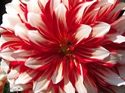 Jem Fine Arts Photos - Dahlia named Myrtles Brandy by J McCombie
