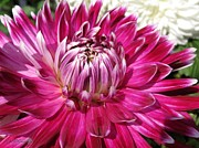 Red Wine Prints Photo Posters - Dahlia named Vancouver Poster by J McCombie