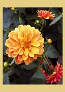 Floral Notecards Posters - Dahlias Poster by Dale   Ford